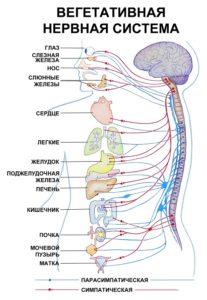 Вегетативная система человека