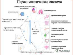 Парасимпатический система