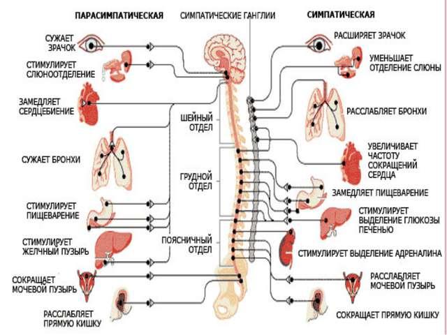 симпатическая и парасимпатическая системы