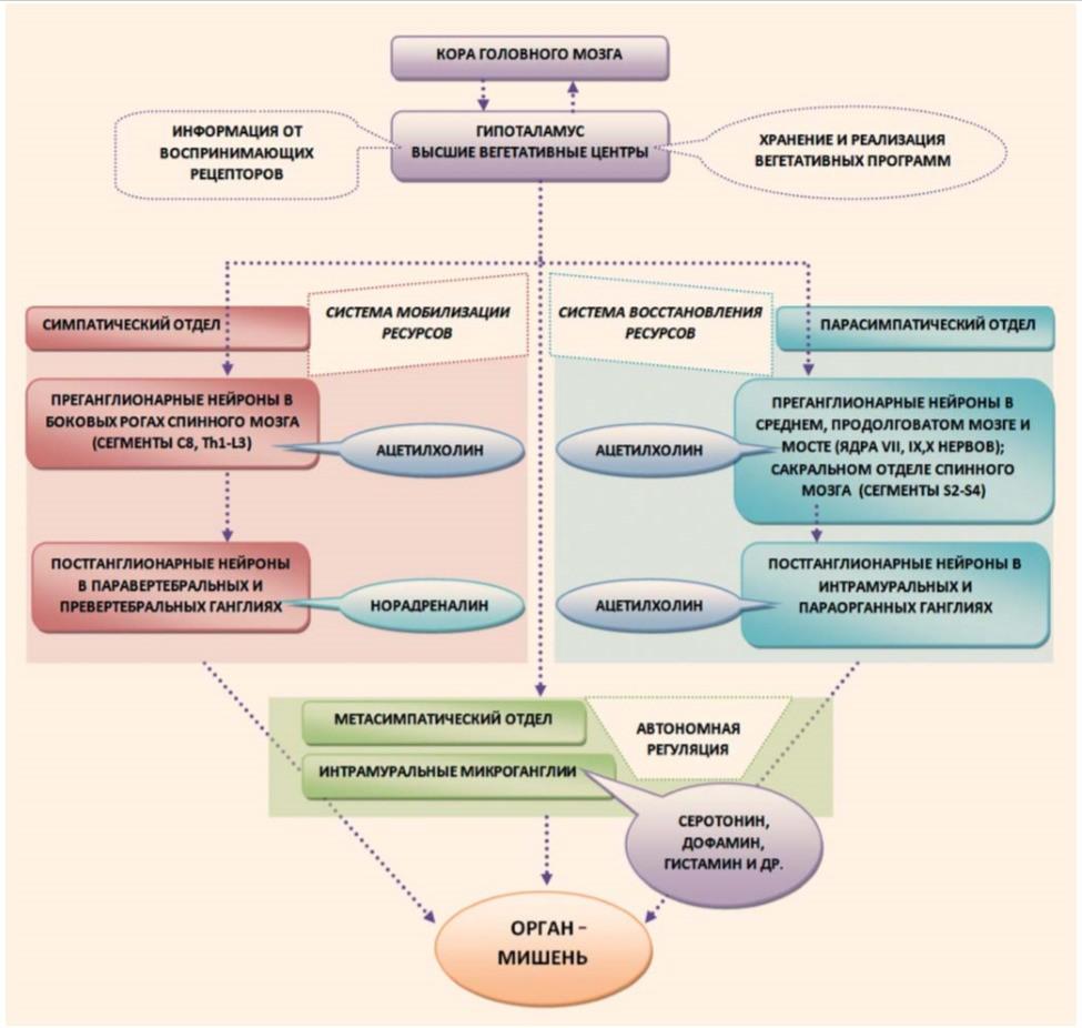 организация вегетативной нервной системы